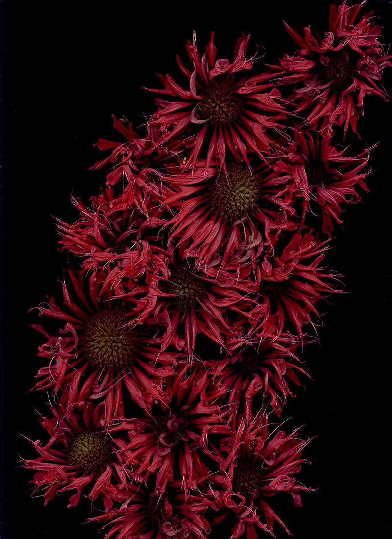 Bloom Day Scans flower art by Craig Cramer | Yellowtrace.